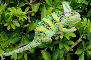 Where do chameleons live in the wild?